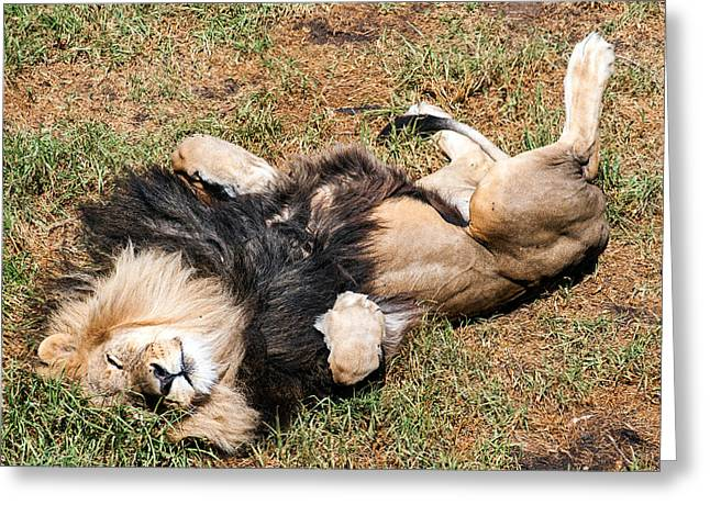 Playful Greeting Cards - Just Lion Down Greeting Card by Ray Warren