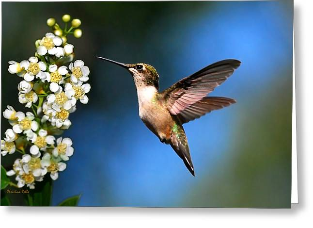 Ruby Throated Hummingbird Greeting Cards - Just Looking Greeting Card by Christina Rollo