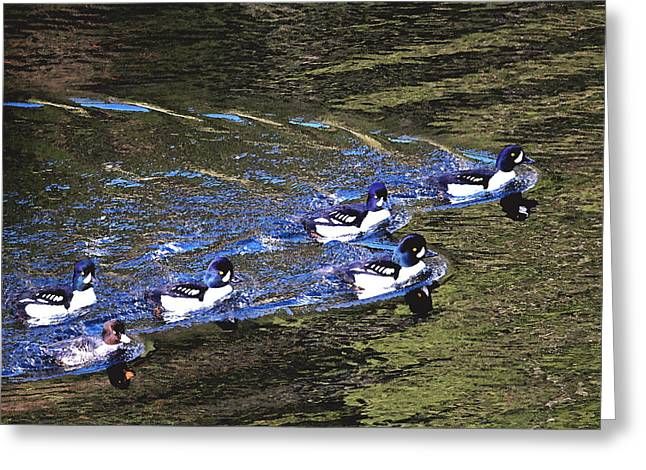 Flocks Of Ducks Greeting Cards - Just One of the Guys Greeting Card by Peggy Collins
