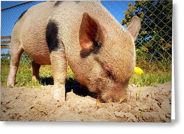 Potbelly Pig Greeting Cards - Just Rootin Around Greeting Card by Lynn Griffin