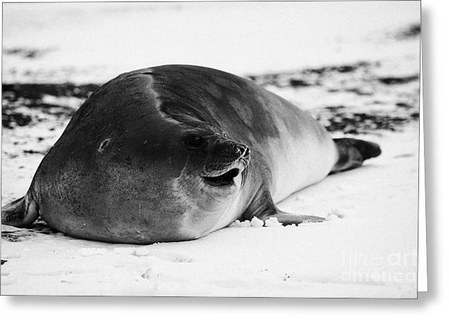 Elephant Seals Greeting Cards - juvenile 2 year old elephant seal calling hannah point livingstone island Antarctica Greeting Card by Joe Fox