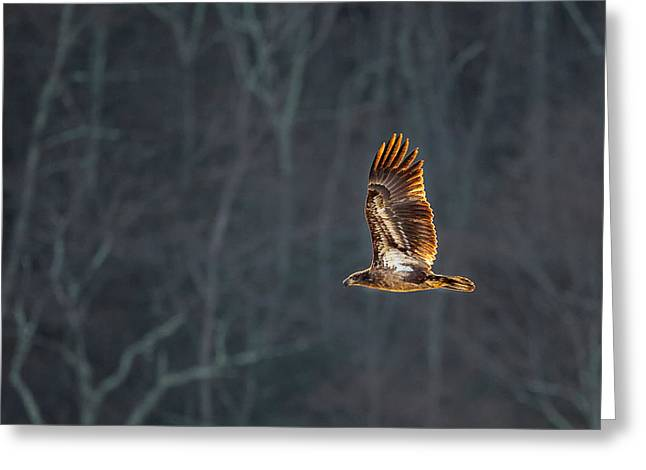 Eagle In Flight Greeting Cards - Juvenile American Bald Eagle Greeting Card by Bill  Wakeley