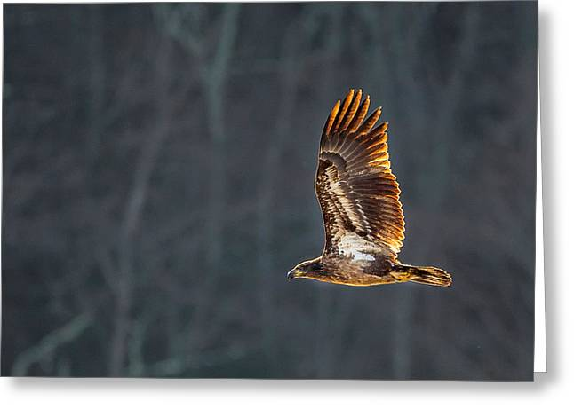 Square Format Greeting Cards - Juvenile American Bald Eagle Square Greeting Card by Bill  Wakeley