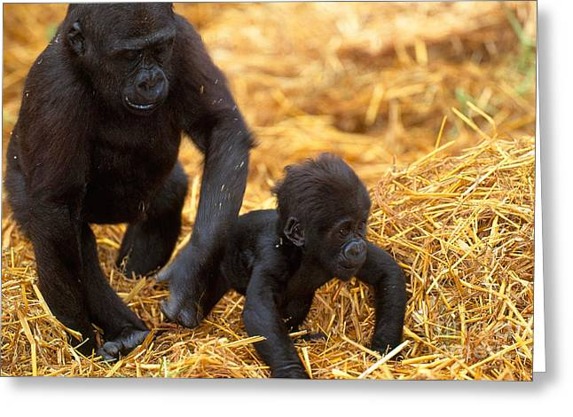Gorilla Photographs Greeting Cards - Juvenile And Baby Lowland Gorillas Greeting Card by Art Wolfe