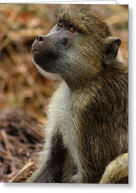 Hierarchical Greeting Cards - Juvenile Baboon Kenya Greeting Card by Amanda Stadther