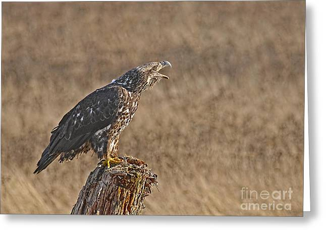 Talking Greeting Cards - Juvenile Bald Eagle on Stump 2 Greeting Card by Sharon  Talson