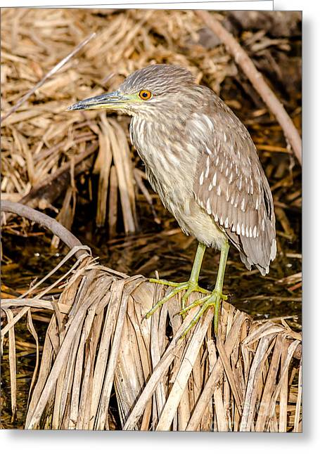 Winter Migrants Greeting Cards - Juvenile Black Crowned Night Heron Greeting Card by Debra Martz