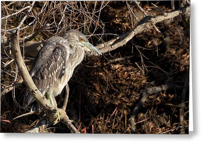 Raven Note Cards Greeting Cards - Juvenile Black-crowned Night Heron Greeting Card by Kathleen Bishop
