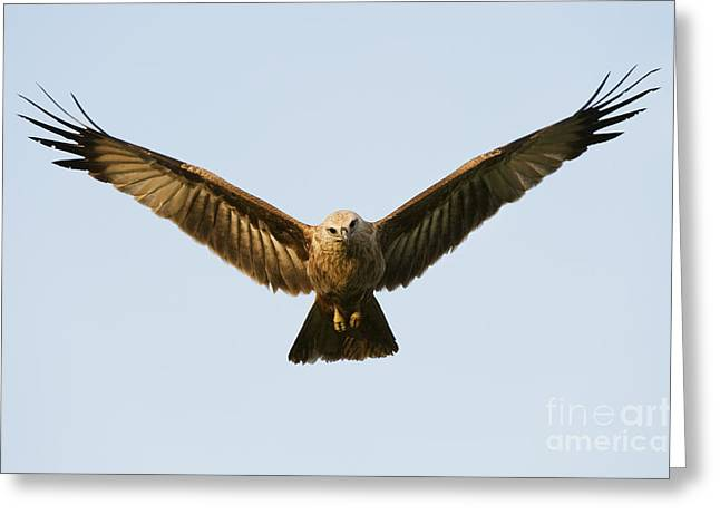 Juvenile Brahminy Kite Hovering Greeting Card by Tim Gainey
