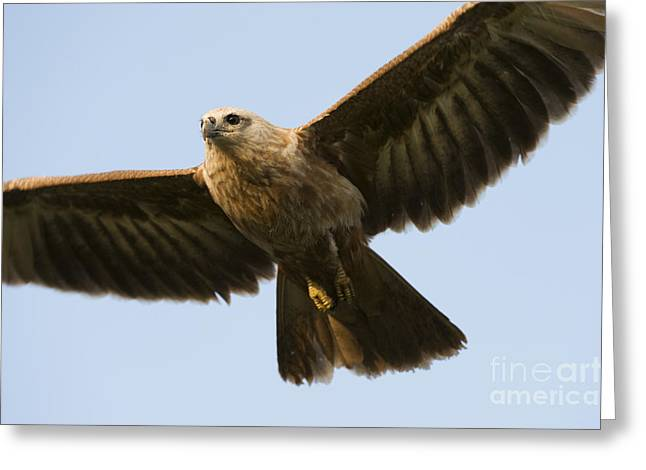 Hovering Greeting Cards - Juvenile Brahminy Kite Greeting Card by Tim Gainey