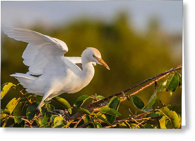 Cattle Egret Greeting Cards - Juvenile Cattle Egret Greeting Card by Andres Leon