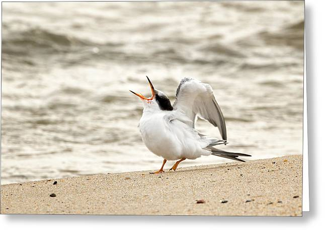 Tern Greeting Cards - Juvenile Common Tern Greeting Card by Bill  Wakeley