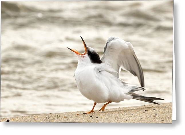 Tern Greeting Cards - Juvenile Common Tern Square Greeting Card by Bill  Wakeley