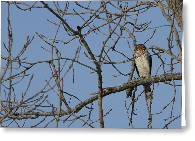 Bird On Tree Greeting Cards - Juvenile Coopers Hawk On Tree Limb Greeting Card by Dan Sproul