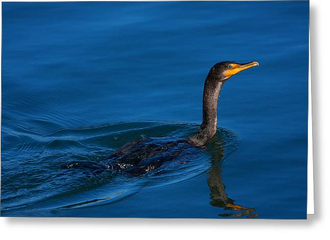 Double-crested Cormorant Greeting Cards - Juvenile Cormorant Swim Greeting Card by Karol  Livote
