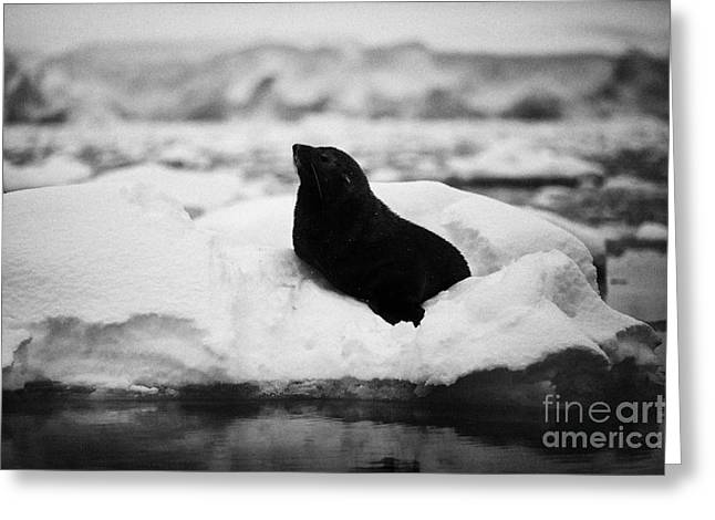 Fournier Greeting Cards - juvenile fur seal floating on iceberg in Fournier Bay Antarctica Greeting Card by Joe Fox