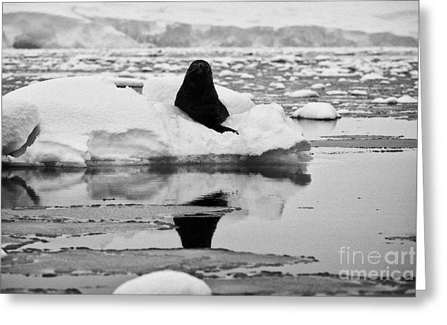 Fournier Greeting Cards - juvenile fur seal looking straight to camera floating on iceberg in Fournier Bay Antarctica Greeting Card by Joe Fox
