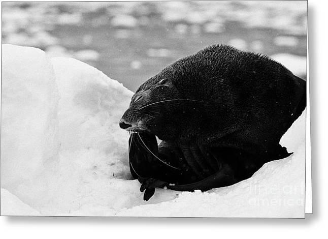 Harsh Behavior Greeting Cards - Juvenile Fur Seal Scratching Head With Flipper Feigning Boredome Defensive Behaviour Floating On Ice Greeting Card by Joe Fox