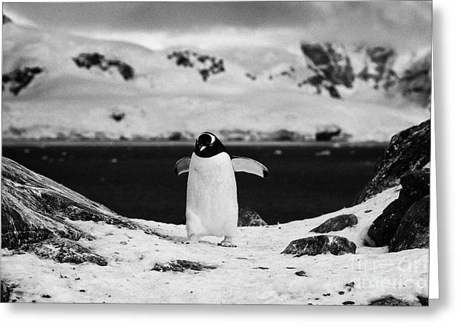 Harsh Behavior Greeting Cards - juvenile gentoo penguin with wings outstretched walking at Neko Harbour arctowski peninsula Antarcti Greeting Card by Joe Fox