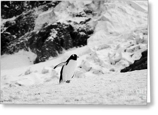Harsh Behavior Greeting Cards - juvenile gentoo penguin with wings outstretched walking uphill Neko Harbour Antarctic mainland Antar Greeting Card by Joe Fox