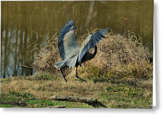Blue Heron Greeting Cards - Juvenile Great Blue Heron after landing - 9771d Greeting Card by Paul Lyndon Phillips