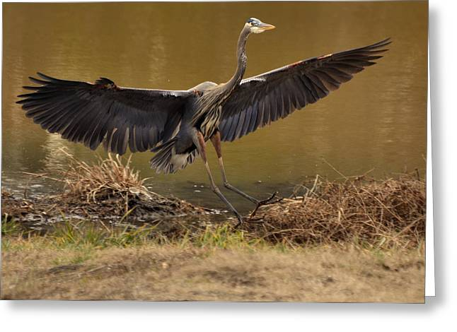 Paul Lyndon Phillips Greeting Cards - Juvenile Great Blue Heron gliding down - 9945h Greeting Card by Paul Lyndon Phillips