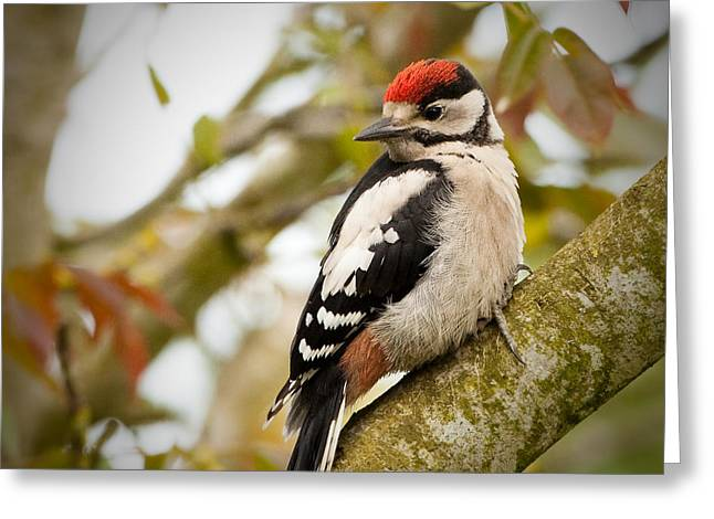 Walnut Tree Photograph Greeting Cards - Juvenile Greater Spotted Woodpecker Greeting Card by Izzy Standbridge