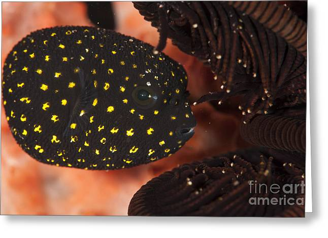 Puffer Greeting Cards - Juvenile Guineafowl Spotted Pufferfish Greeting Card by Steve Jones