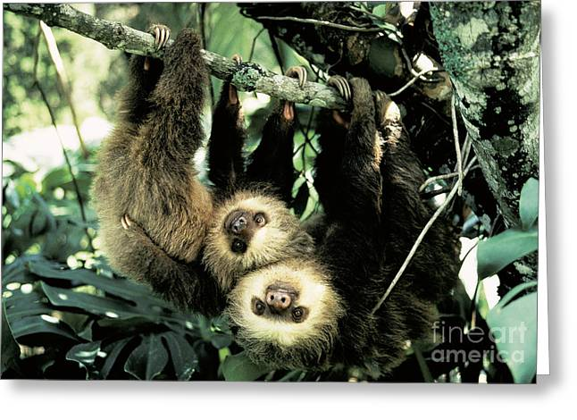 Sloth Greeting Cards - Juvenile Hoffmanns Two-toed Sloths Greeting Card by Gregory G. Dimijian, M.D.