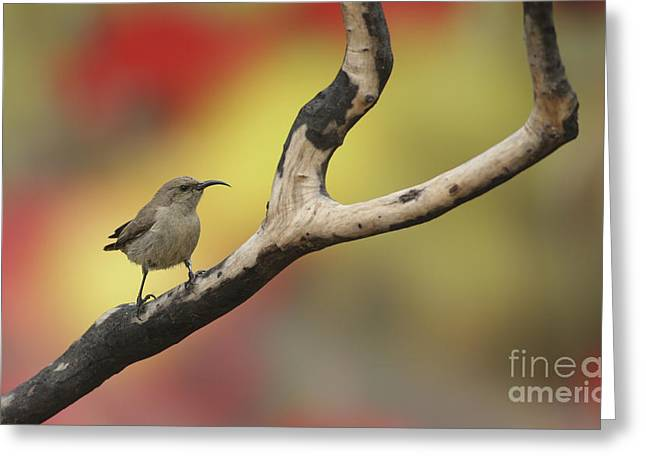 Sunbird Greeting Cards - Juvenile Palestine Sunbird Greeting Card by Alon Meir