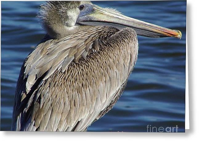 Cedar Key Greeting Cards - Juvenile Pelican Greeting Card by D Hackett