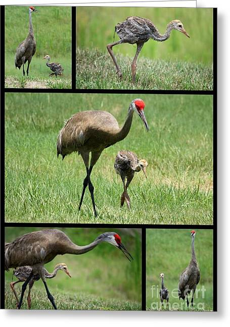 Baby Bird Greeting Cards - Juvenile Sandhill Crane Collage Greeting Card by Carol Groenen