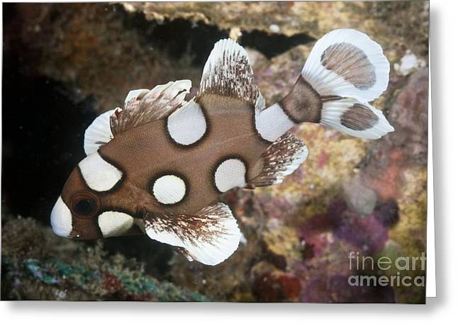 Lembeh Strait Greeting Cards - Juvenile Sweetlips, Lembeh Strait Greeting Card by Matthew Oldfield