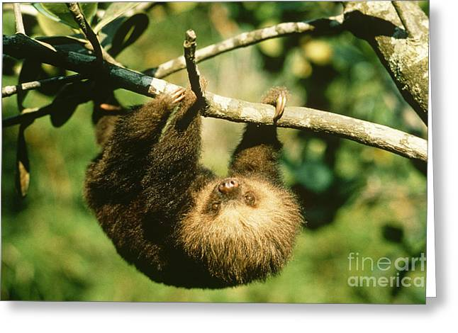 Sloth Greeting Cards - Juvenile Two-toed Sloth Greeting Card by Gregory G. Dimijian, M.D.