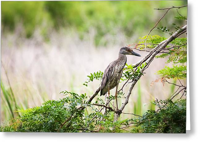 Juvenile Wall Decor Greeting Cards - Juvenile Yellow Crowned Night Heron Greeting Card by Zoe Ferrie