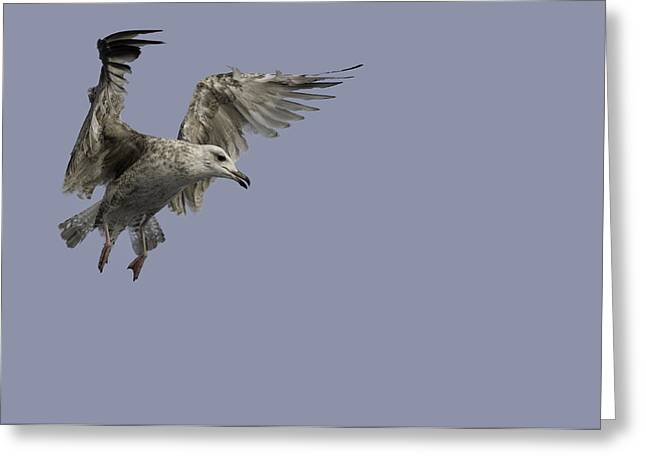 Flying Gulls Greeting Cards - Juvenille Herring Gull Greeting Card by Andy Astbury