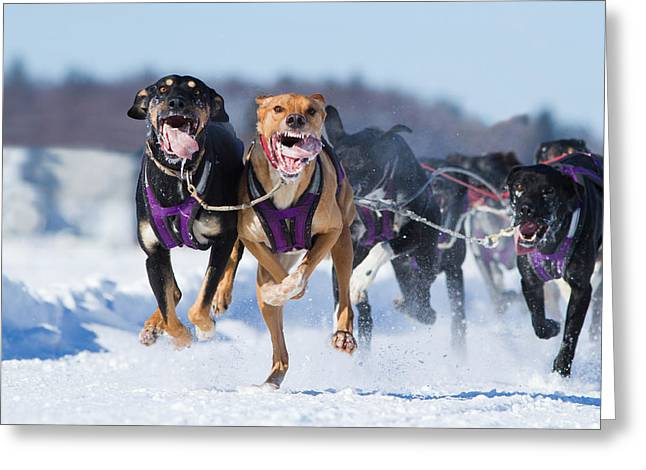 Husky Greeting Cards - K9 Athletes Greeting Card by Mircea Costina Photography