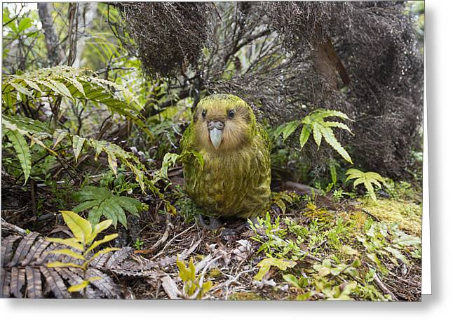 Kakapo Male In Forest Codfish Island Greeting Card by Tui De Roy