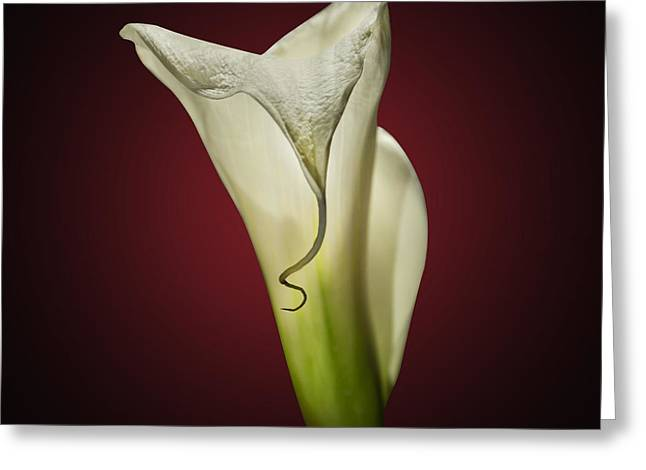Aesthetic Greeting Cards - Cala Lily 2 Greeting Card by Mark Ashkenazi