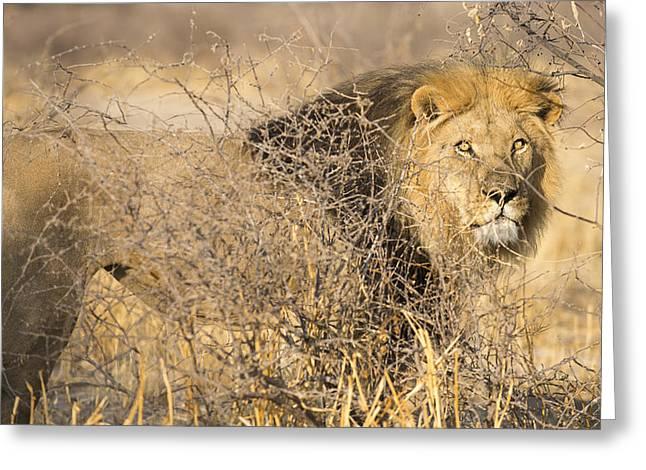 Bigcat Greeting Cards - Kalahari King #1 Greeting Card by Andy-Kim Moeller