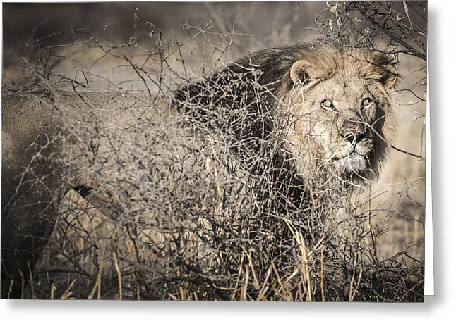 Predacious Greeting Cards - Kalahari King No 1 - ARAE Greeting Card by Andy-Kim Moeller