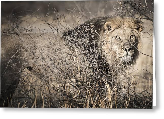 Bigcat Greeting Cards - Kalahari King No 1 - ARAE Greeting Card by Andy-Kim Moeller