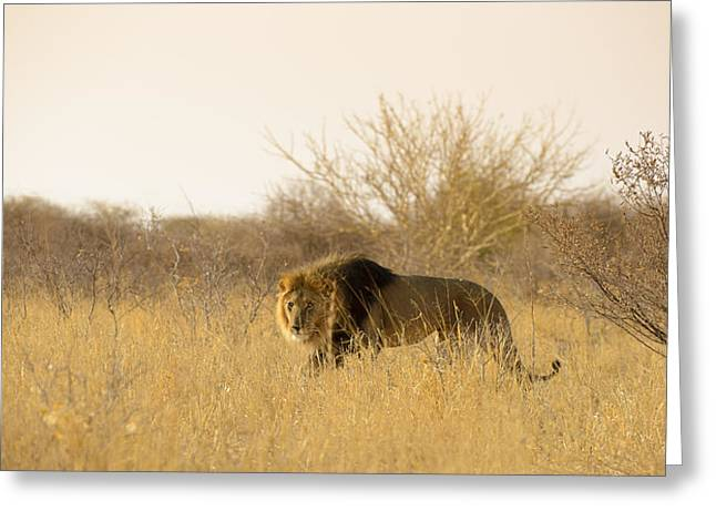 Predacious Greeting Cards - Kalahari King No 2 Greeting Card by Andy-Kim Moeller