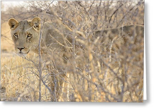 Bigcat Greeting Cards - Kalahari Queen No 1 Greeting Card by Andy-Kim Moeller