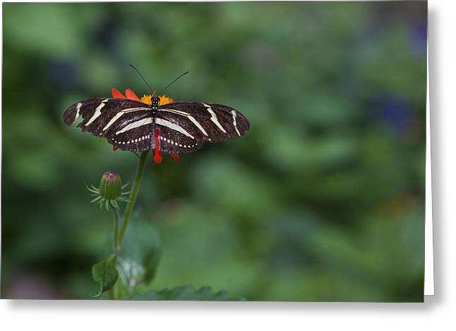 Kanapaha Butterfly I Greeting Card by Charles Warren