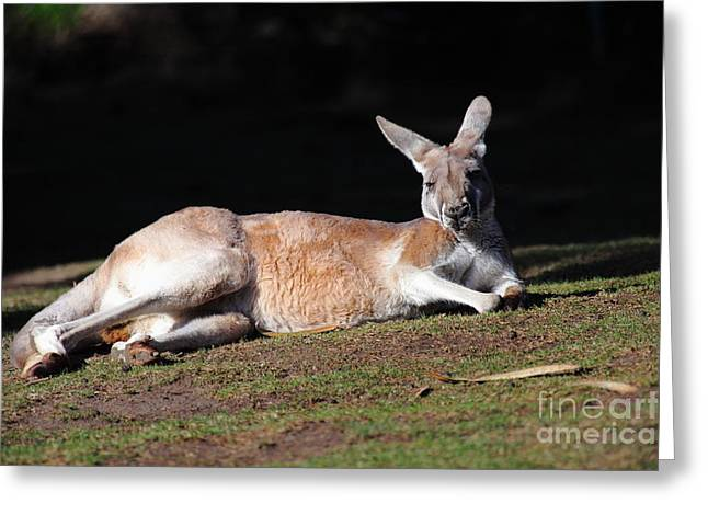 Kangaroo Greeting Cards - Kangaroo 5D27165 Greeting Card by Wingsdomain Art and Photography