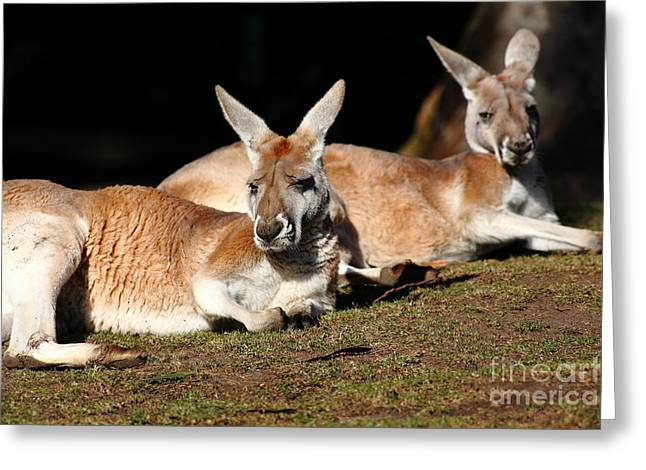 Kangaroo Greeting Cards - Kangaroo 5D27177 Greeting Card by Wingsdomain Art and Photography