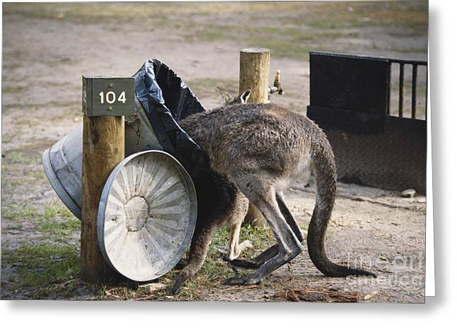 Kangaroo Greeting Cards - Kangaroo In Garbage Greeting Card by Mark Newman
