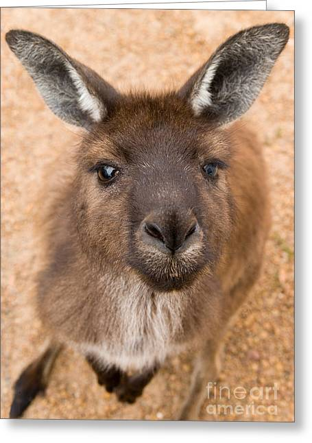 Kangaroo Greeting Cards - Kangaroo Island Kangaroo Greeting Card by Marie Read