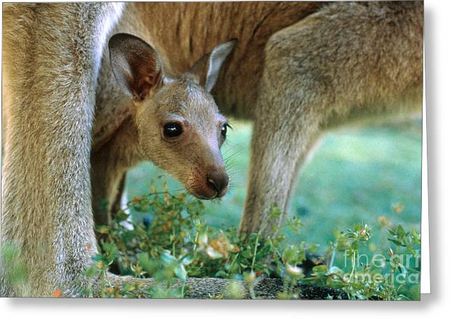 Kangaroo Joey Greeting Card by Mark Newman